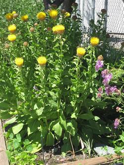 Василек золотисто-желтый выращивание из семян 28